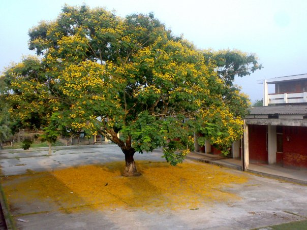 Historical Radhachura tree beside  Dining is destroyed